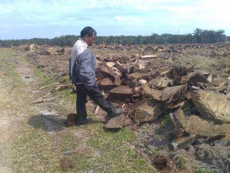 PT. PN 4 Unit Kebun Aek Nauli, Proyek Peremajaan Tanaman Kelapa Sawit Dikerjakan Asal Jadi