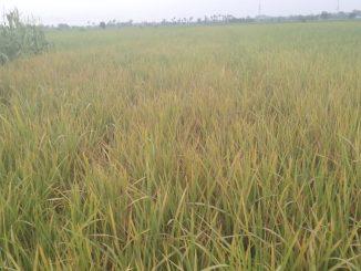 Ratusan Hektare Lahan Pertanian Padi Yang Ada Di Kec. Huta Bayu Raja Terancam Gagal Panen