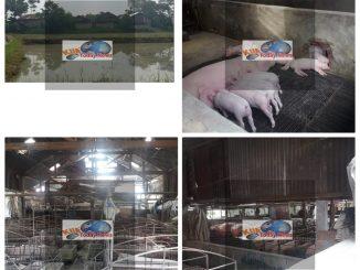 Peternakan babi Ilegal alias tak berizin bebas beroperasi yang beralamat di Silomange Kelurahan Mekar Nauli Kecamatan Siantar Marihat Kota Pematangasiantar.