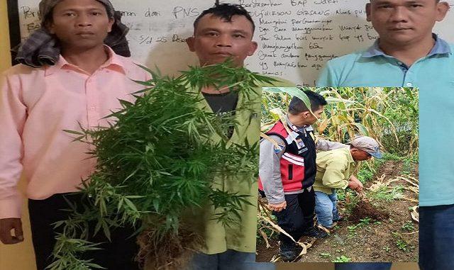 Ferdinan Girsang beserta barang bukti tanaman ganja sebanyak (9) sembilan Batang setinggi kira kira 50 Cm diamankan ke Mapolsek Saribu Dolok