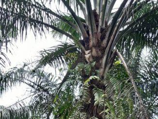 kasus pencurian Tandan Buah Segar (TBS) kelapa sawit semakin marak terjadi di PTPN IV khususnya di areal HGU milik Unit Kebun Marihat.