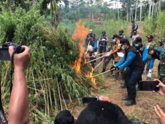 Pemusnahan ladang ganja di Dusun Cot Rawatu Desa Jurong Kec. Sawang Kab. Aceh Utara, Provinsi Aceh, Selasa (25/8).