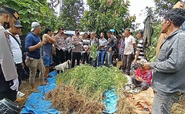 Polres Karo menemukan areal ladang ganja siap panen di Desa Beganding, qSimpang Empat, Karo.